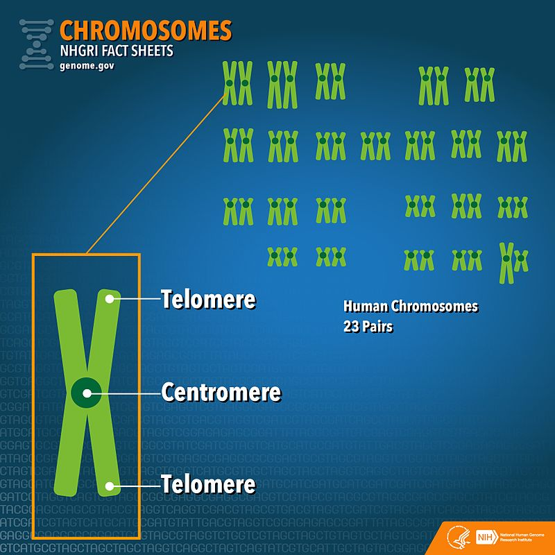 Key Difference - Autosomes vs Chromosomes