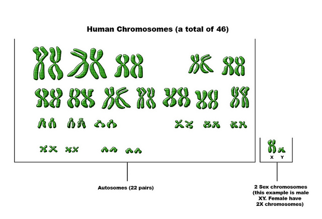 Difference between autosomes and sex chromosomes pic 64