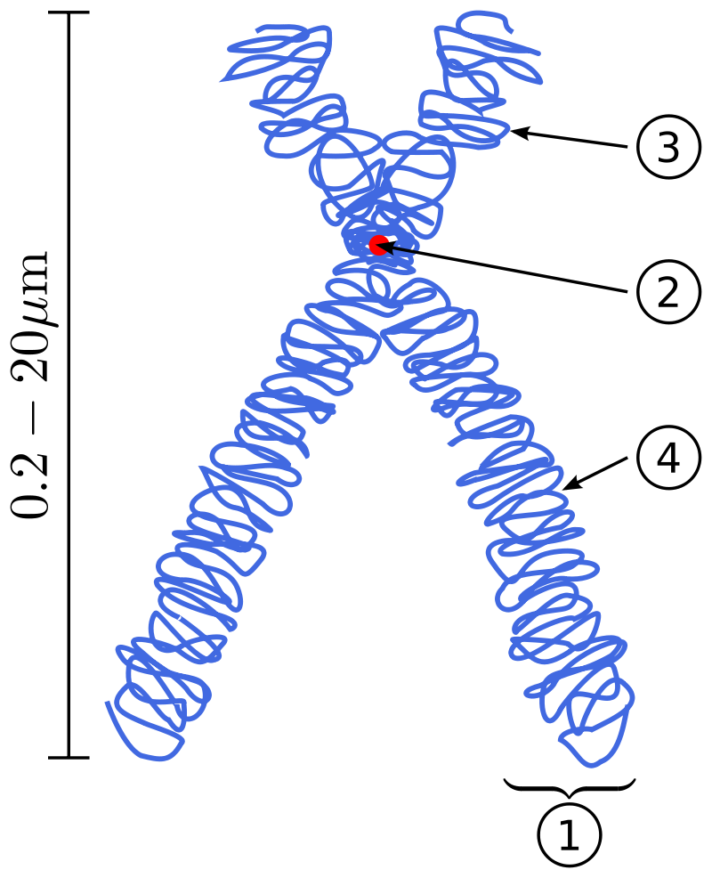 Difference Between Chromatin and Chromosomes