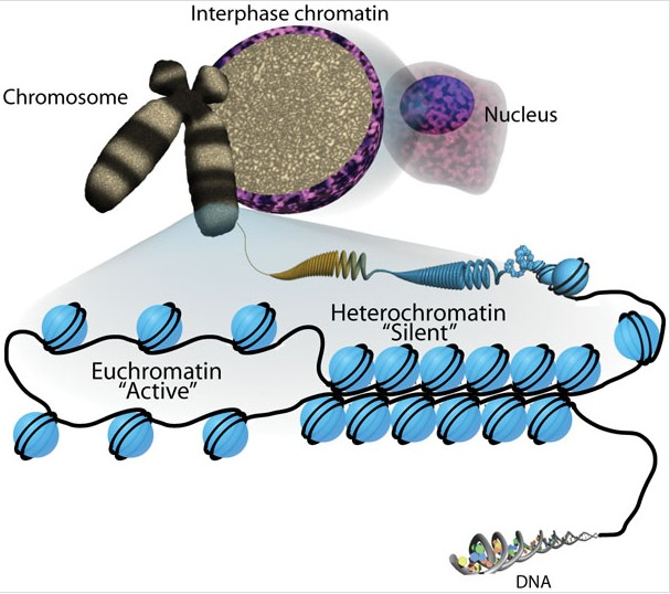 Difference Between Heterochromatin and Euchromatin
