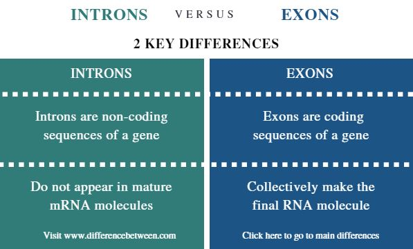 Difference Between Introns vs Exons - Comparison Summary