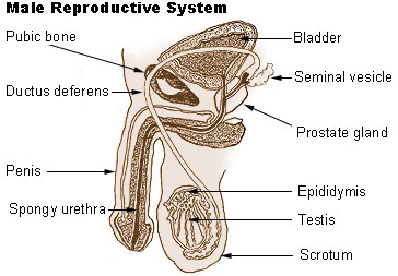Difference Between Male and Female Reproductive System_Fig 01