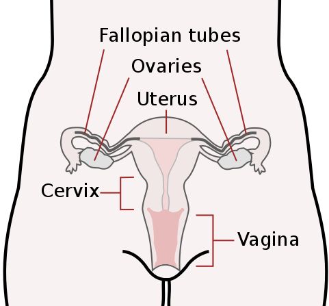 Difference Between Male and Female Reproductive System_Fig 02
