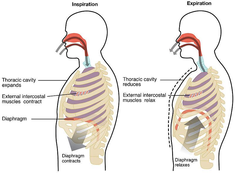Key Difference Between Internal and External Respiration