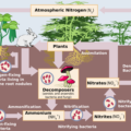 Difference Between Nitrogen Cycle and Carbon Cycle