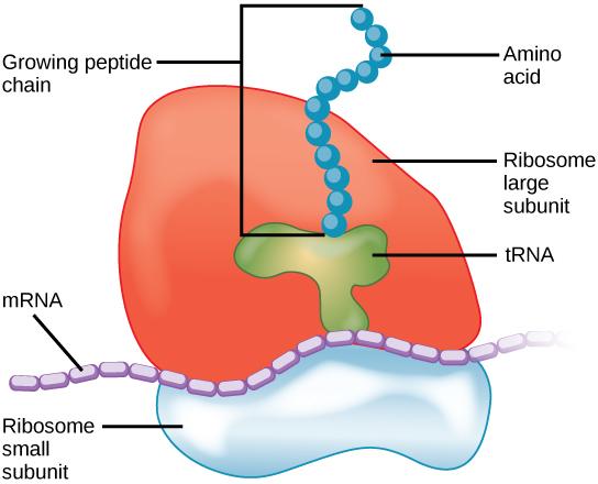 Key Difference - rRNA vs Ribosomes