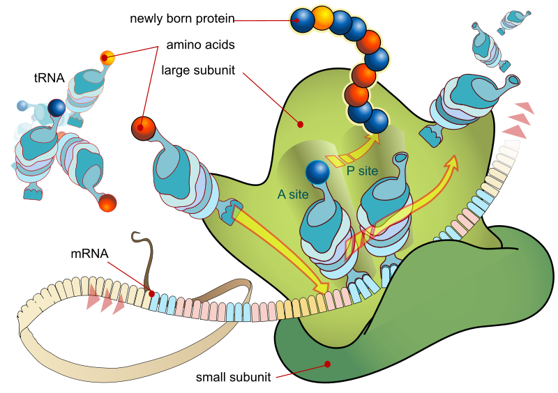 Key Difference Between rRNA and mRNA