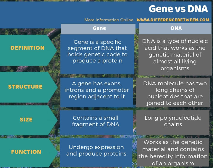 Difference Between Gene and DNA - Tabular Form