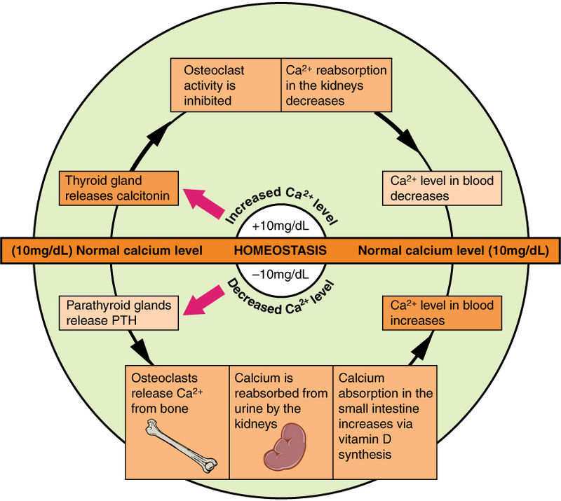 Differences Between Homeostasis and Metabolism