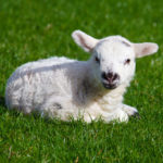 Difference Between Sheep and Lamb
