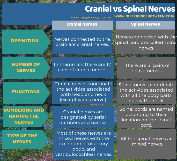 Difference Between Cranial and Spinal Nerves in Tabular Form