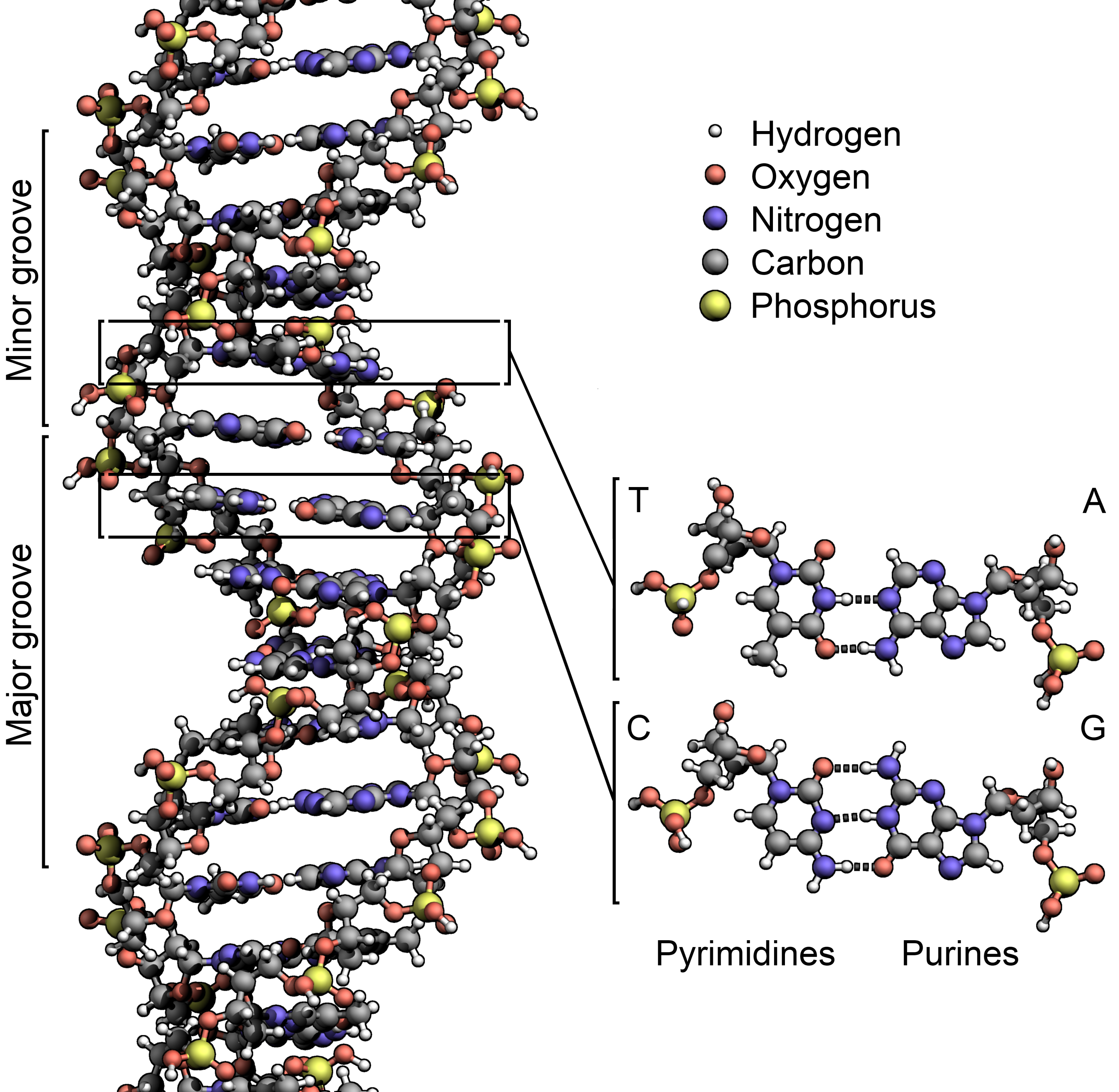 Difference Between DNA and mRNA