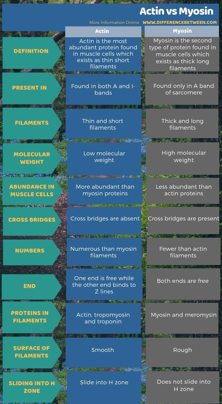 Difference Between Actin and Myosin- Tabular Form