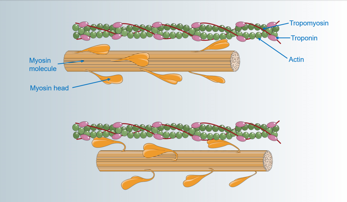 Difference Between Actin and Myosin
