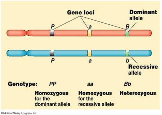 Difference Between Dominant and Recessive Allele