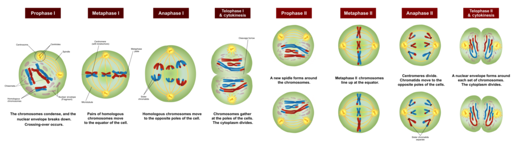 Difference Between Prophase I and Prophase II_Fig 01