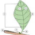 Difference Between Simple and Compound Leaves