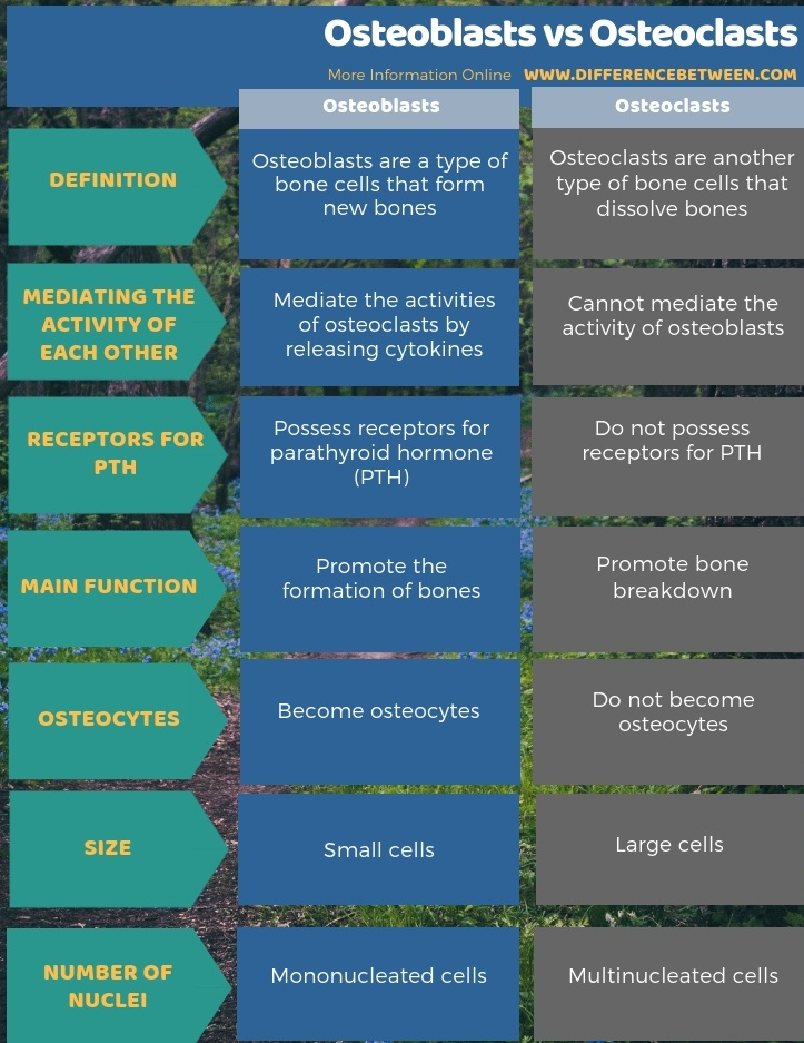 Difference Between Osteoblasts and Osteoclasts - Tabular Form