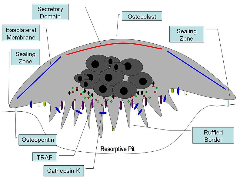 Difference Between Osteoblasts and Osteoclasts