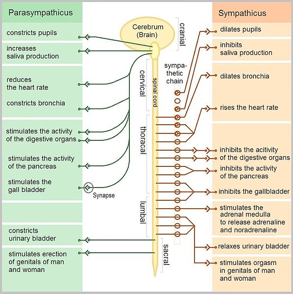 Key Difference Between Sympathetic and Parasympathetic Nervous System