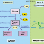 Difference Between Aerobic and Anaerobic Glycolysis
