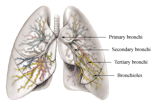 Difference Between Bronchi and Bronchioles | Bronchi vs Bronchioles