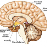 Difference Between Pituitary and Pineal Gland