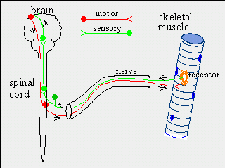 Difference Between Sensory and Motor Nerves