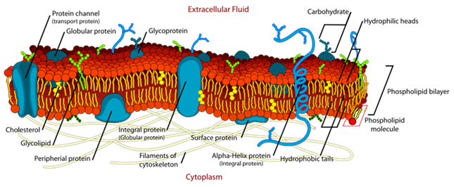 Difference Between Cell Membrane