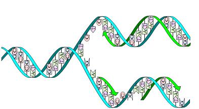 Difference Between DNA Replication in Prokaryotic and Eukaryotic