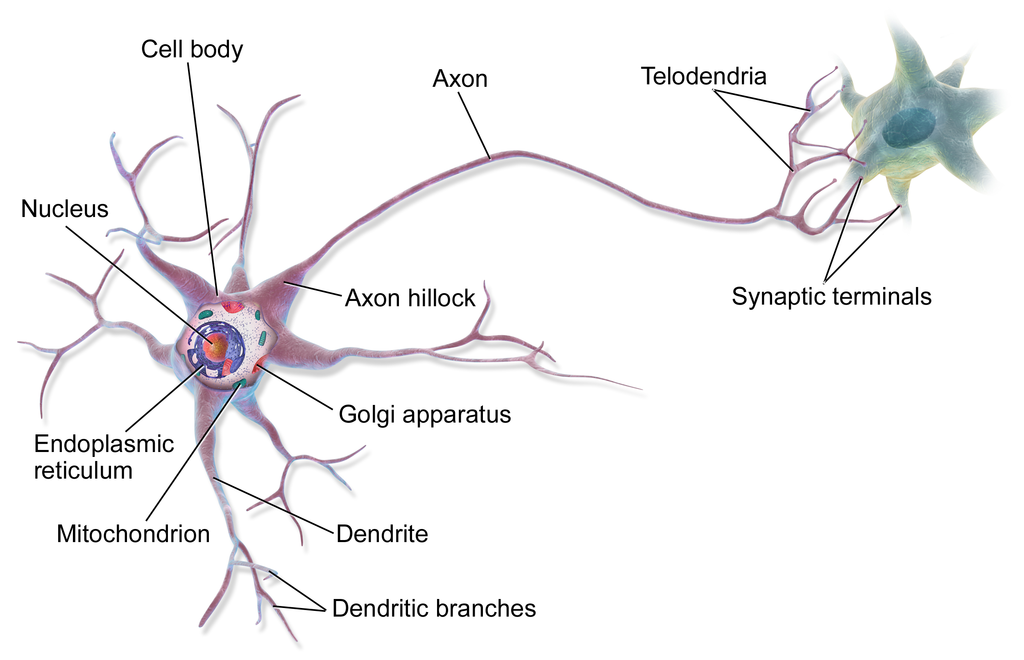 Difference Between Axons and Dendrites