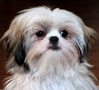 havanese and shih tzu difference between havanese and shih tzu havanese vs 2582