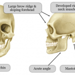 Difference Between Male and Female Skull