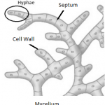 Difference Between Hyphae and Mycelium