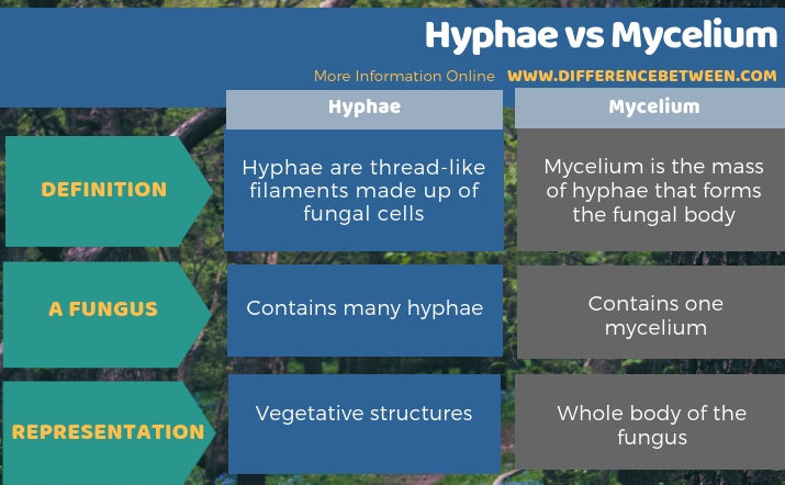 Difference Between Hyphae and Mycelium - Tabular Form
