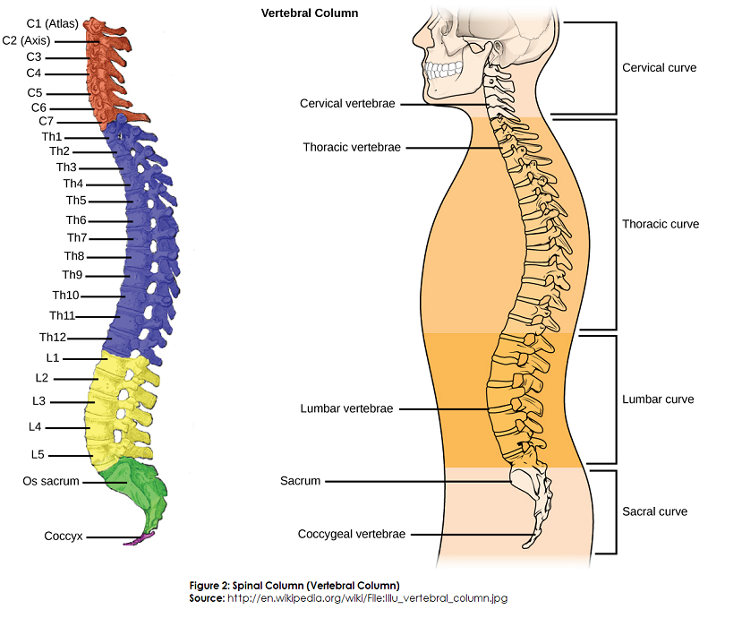 Difference Between Spinal Cord and Spinal Column (Backbone) | Spinal ...