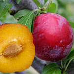 Difference Between Plum and Prune