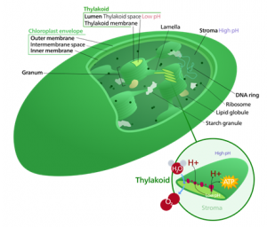 Chloroplast and Mitochondria  | Difference Between