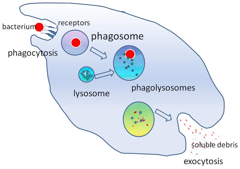 Key Difference - Phagocytosis vs Pinocytosis