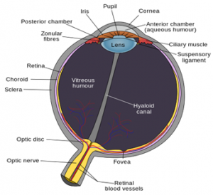 Aqueous Humor and Vitreous Humor | Difference Between