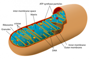 Mitochondria and Chloroplast | Difference Between