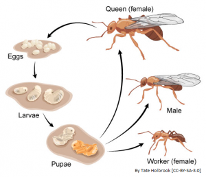 Larva and Pupa | Difference between
