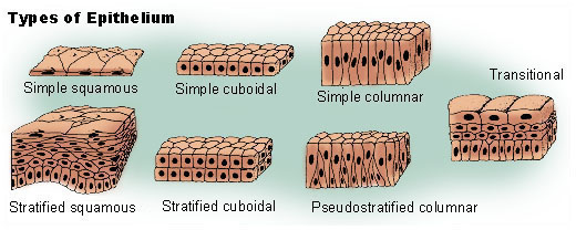 Difference Between Epithelium and Endothelium
