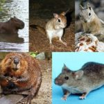 Difference Between Rodents and Lagomorphs