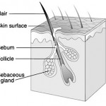 Difference Between Pores and Hair Follicles