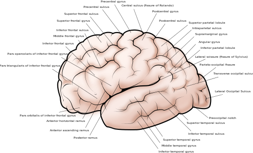 Difference Between Gyri and Sulci | Gyri vs Sulci