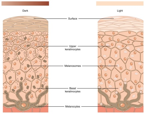 Difference between Keratinocytes and Melanocytes