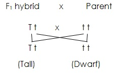 Difference Between Test Cross and Backcross