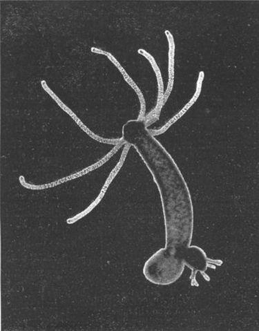 Hydra vs Obelia - Image of Hydra