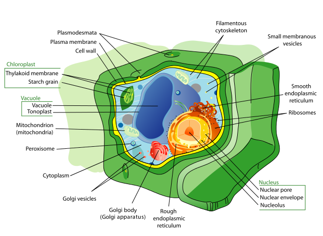 Difference Between Plant Cell and Bacterial Cell